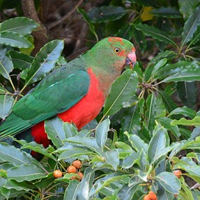 Lorikeets and Juvenile King Parrots