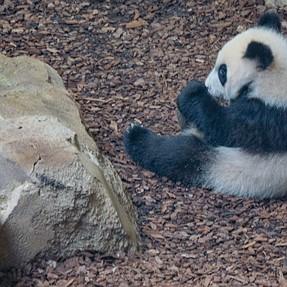 The panda at Beauval