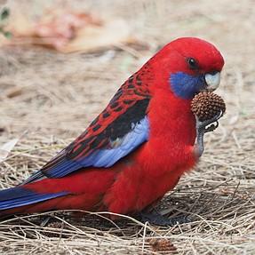 A few Aussie birds
