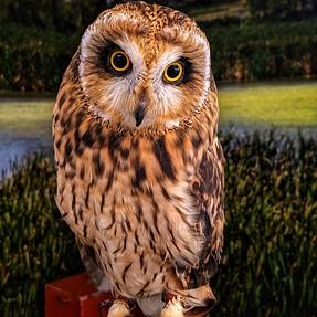 Short-eared Owl - Google Cam on Note 8