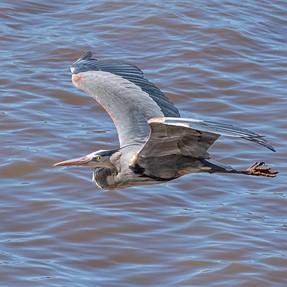 200-500 Targets a Great Blue Heron in Flight