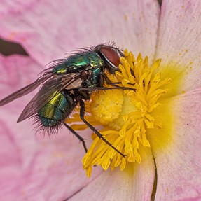 Insects on Cistus flowers