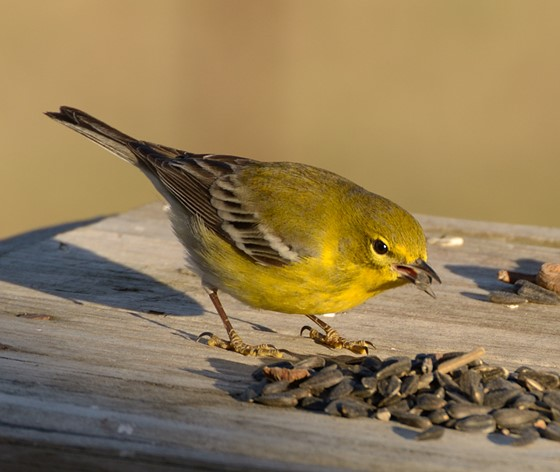 A few backyard birds from east Texas: Nature and Wildlife