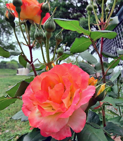 Hubby S First Rose Bush Lowes Had It Tagged As A Don Juan Climbing Actually Joseph Coat And Blessing To Watch