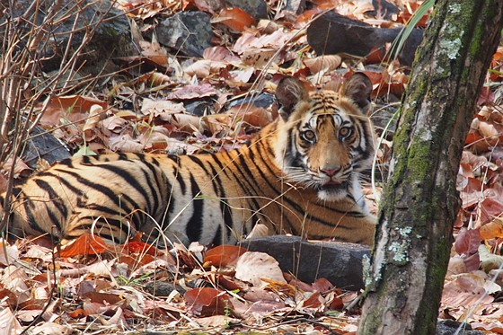 Why Is My Tiger Not Sharp   Micro Four Thirds Talk Forum