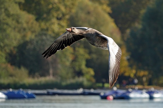 RX10 IV: photographing birds in flight: Sony Cyber-shot Talk