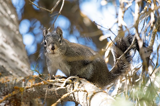 Pine Squirrel (barking squirrel): Nature and Wildlife Photography