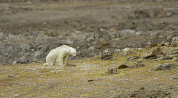 508454af7d National Geographic photographer shares heart-wrenching video of starving polar  bear