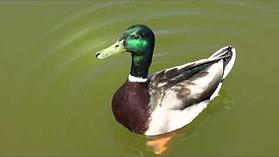 Canon PowerShot G15 duck sample video
